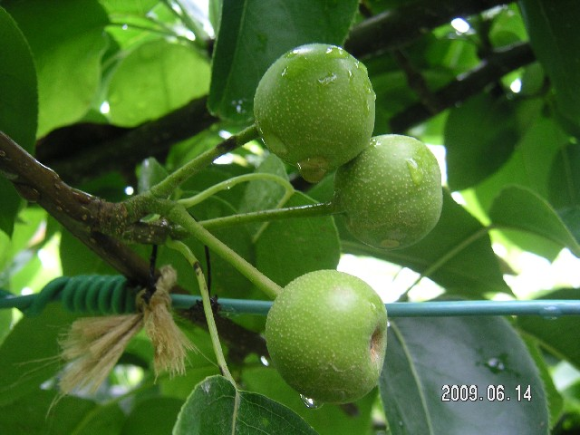 梨 幸水の実